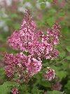 Pink Perfume Bloomerang Lilac