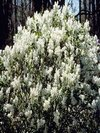 Betsy Ross Lilac