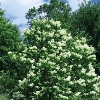 Japanese Tree Lilac Clump