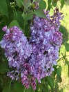 Scentara Double Blue Lilac