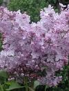 Excel Lilac