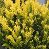 Dwarf  Golden Japanese Yew
