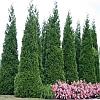 Green Giant Cedar