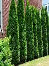 American Pillar Cedar