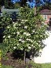 Nannyberry Treeform