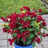 Maroon Swoon Weigela
