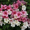 Czechmark Trilogy Weigela