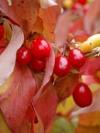 Golden Glory Cornelian Cherry Dogwood