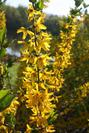 Flying Machine Forsythia