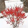 Little Goblin Winter Berry