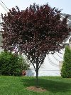 Thundercloud Ornamental Plum