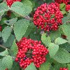 Red Balloon Viburnum