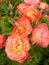 Coral Cove Rose