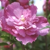 Sanchoyo Rose of Sharon