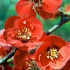 Crimson and Gold Quince