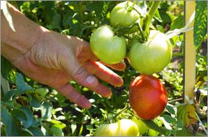 Epsom Salt for Tomatoes