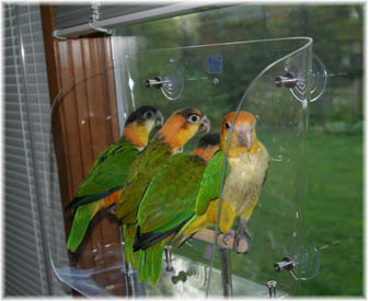 Caiques sitting in a Wingdow Seat