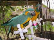 Kitchen Sink Parrot PlayGym with two Caninde Macaws