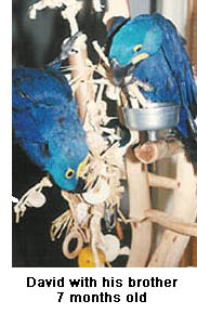 Two young Hyacinth Macaws playing with toys on a playstand