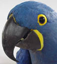 Picture of a Hyacinth Macaws head