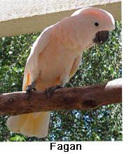 Fagan, a Moluccan Cockatoo