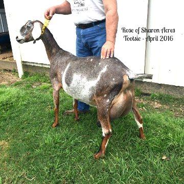 Maud Maid Kids Tootsie - Nubian Dairy Goat