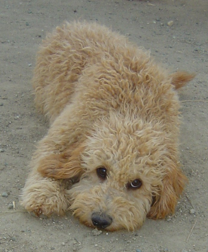 Jed An Australian Labradoodle From Beau Monde Labradoodles