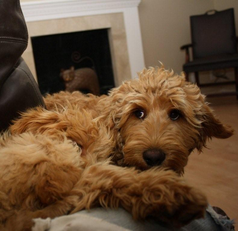 New Labradoodle additions to Beau Monde Labradoodles For Sale In Northern Territory Australia