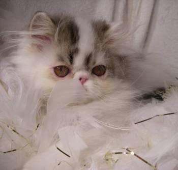 Persian kitten, Henderson, Nevada,