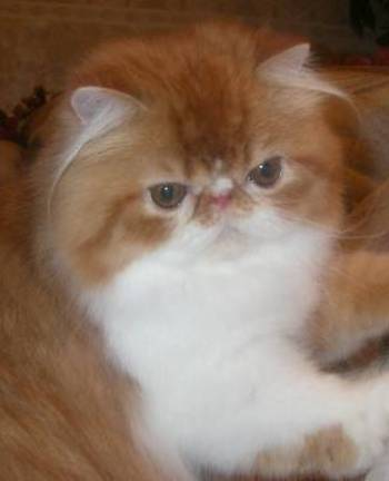 Persian Cats, Exotic Shorthair, Persian Kittens, Find information