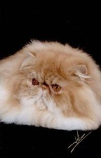 Persian cats Colorado, cattery, cat breeder list, Groomer's Goop
