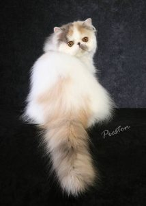 Persian cat, Persian kitten, Colorado Persian Cat breeder, Cat shows in Colorado, Loveland Cat Show