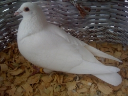 WhitePigeonSales Com - White Racing Homing Pigeons - Pigeons