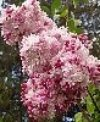 Sweetheart French Hybrid Lilac