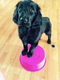 Kit - Flat Coated Retriever