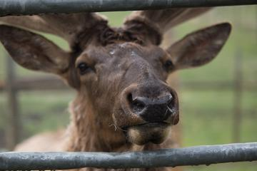 Visit Junior the Elk