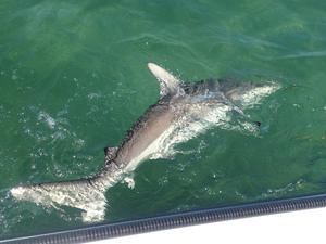 Shark fishing in Big Pine Key