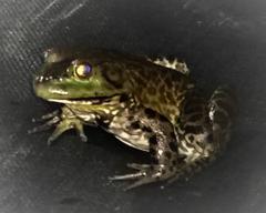 frog legs American Bull frog photo