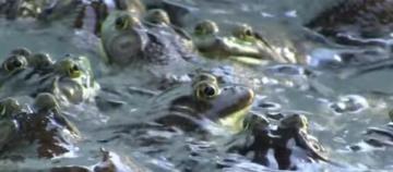 Bull frog legs Photo