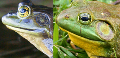 What is the difference between a male and female bullfrog