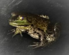What type of frog is used for frog legs?