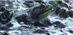 Frog Gig Bullfrog gigs