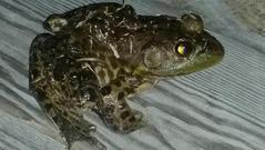 What is the best time to go frog bullfrog gigging?
