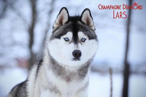 JBISS JBISS-2 KCUSA Master Ch KCUSA BIS JCH RU JCW JCCH CH Champagne Diamond Lars